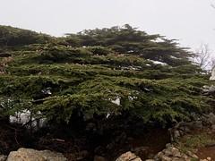 Under the canopy of an ANCIENT CEDAR in Maasser al-Shouf, Lebanon (quaerentia) Tags: winter lebanon forest cedars