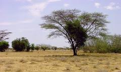 Fejej area (2005) (Desc/Em) Tags: africa landscape ethiopia steppe afrique hornofafrica omo acacias ethiopie turkana easternafrica turkanalake snnpr southernethiopia afriquedelest turkanabasin omoturkanabasin ethiopiakenyaborder