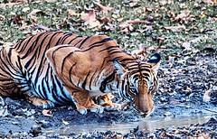 Wildlife @ kabini and ranganathittu (minkuashish) Tags: kabini nagarholenationalpark royalbengaltiger