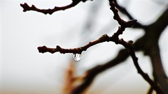 Where are we now (ahmBerlin) Tags: nature canon death ast tears branch dof bokeh natur farewell droplet buds tod abschied tropfen schärfentiefe knospen träne