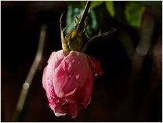 ce matin au jardin (JJ_REY) Tags: winter france rose fleurs nikon hiver colmar alsace 2016 micronikkor 55mmf28 d700 borderfx finjanvier