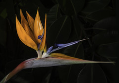 Curly Headed Bird (Bill Gracey) Tags: flower color nature fleur garden colorful flor birdofparadise poway naturalbeauty softbox sidelighting strelitziareginae directionallight offcameraflash lastoliteezbox yongnuorf603n yn560iii