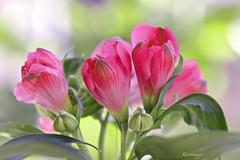 ......?sur un fond pastel (kiareimages1) Tags: flowers flores macro colors fleurs couleurs images colores fiori imagenes colori imagery immagini macrophotographie imagespastel fondpastel