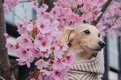 IMG_0598 (yukichinoko) Tags: dog dachshund 桜 sakura 犬 kinako ダックスフント ダックスフンド きなこ