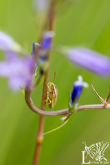 20150606IMG_7056 (lesyeuxdesam) Tags: macro bokeh insecte juin2015