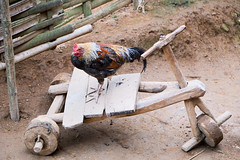 Chicken on trike (Laura Jacobsen) Tags: laos hilltribe akha phongsaly phongsali akhanoukouy