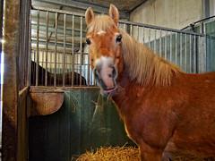 P1290015 (gill4kleuren - 11 ml views) Tags: horse sarah bezoek dentist haflinger tandarts anisia