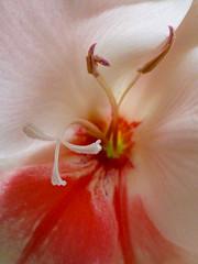 Inner Beauty (Steve Taylor (Photography)) Tags: pink red newzealand christchurch white flower macro closeup canterbury petal nz southisland gladiola stigma filament gladiolus gladioli anther northnewbrighton