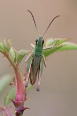 Meadow_Chorthippus-parallelus-male-4 (skully_bob) Tags: insect grasshopper orthoptera cambridgeshire invertebrate devilsdyke