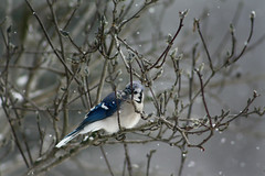 Cold (melissa_dawn) Tags: blue winter snow cold tree bird canon outdoors soft branch kentucky ky feathers bluebird magnoliatree