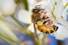 Bee (Muzzlehatch) Tags: sky flower macro fruit insect spring bee honey gathering nectar pollen honeybee apis mellifera fertile