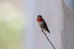 Selasphorus rufus: A.K.A. Bruiser -- 1D3 (apg_lucky13) Tags: ca usa bird digital canon eos wings hummingbird 14 perch perched jdc rufous 135l selasphorusrufus 135mmf2l 189mm 1dmkiii 1d3 1diii canoneos1dmkiii kenkotelepluspro300dg14x jasdaco 135l14tc