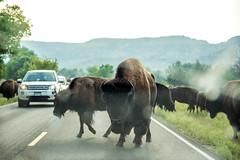 Theodore Roosevelt National Park (RuggyBearLA) Tags: us nationalpark unitedstates northdakota badlands bison belfield medora theodoreroosevelt