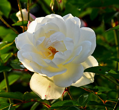 6624a Weisse Rose im Sonnenlicht.  White rose in sunlight. (Fotomouse) Tags: flowers white plant flower nature rose garden flickr blossom outdoor natur blossoms pflanze blumen vegetable rosen blume blte weiss garten draussen blten fotomouse