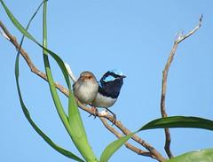 Malurus cyaneus 13 (barryaceae) Tags: nature island harbour reserve australia nsw coffs muttonbird ausbird ausbirds