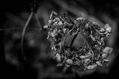 Ring (der_woici) Tags: winter macro pflanzen blumen garten 2016