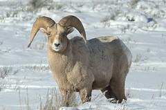 Rocky Mountain Bighorn Sheep (Ovis canadensis canadensis) DDZ_8571 (NDomer73) Tags: 30december2015 december 2015 tetons mammal rockymountainbighornsheep bighornsheep sheep grandtetonnationalpark grandteton