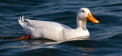 Little White Duck (alanj49) Tags: white water duck reservoir waterfowl wilstone