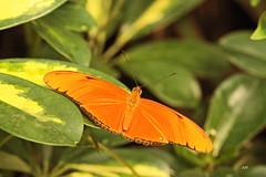 Dryas julia / Flambeau / Julia Butterfly (alain.maire) Tags: canada nature butterfly quebec dryasjulia flambeau nymphalidae juliabutterfly heliconiinae tropicalbutterfly papillonsenfte jardinhamel papillonexotique