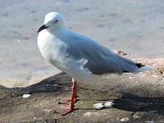 Silvergull (Merrillie) Tags: seagulls nature birds animals fauna nikon wildlife gulls australia coolpix woywoy silvergull p600 nswcentralcoastnsw centralcoastnsw