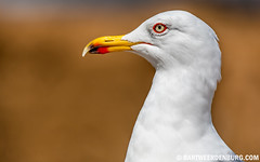 Meeuw (Bart Weerdenburg) Tags: bird seagull gull meeuw meeuwen vogel snavel