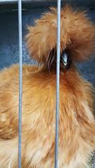 Tina Turner? (End of Level Boss) Tags: bird sydney australia attitude rooster sydneyroyaleastershow tinaturner