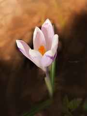 Crocus Art (Dejan Hudoletnjak) Tags: flower macro art closeup spring artistic blossom crocus warmcolors