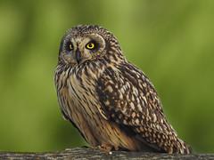 Coruja-do-nabal 1 (Jose Viana) Tags: bird portugal birding ave birdwatching shortearedowl asioflammeus joseviana nikoncoolpixp900