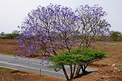 Jacaranda Baum - Jacaranda Tree (Magdeburg) Tags: africa park tree natal southafrica wildlife south reserve land afrika jacaranda baum sdafrika zulu kwazulunatal sd jacarandatree hluhluwe umfolozi kwazulu zululand hluhluweumfolozi hluhluweumfolozipark jacarandabaum ubizana ubizanawildlifereserve ubizanawildlife