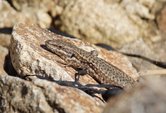 Lizard in France 2 (andys-pics) Tags: france brittany fuji reptile lizard arradon nikondslr s5pro arcpicscouk