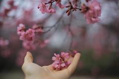 comeback (_selma) Tags: canon touch sakura receiving