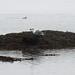 Crushing mussel on seaweed don't work