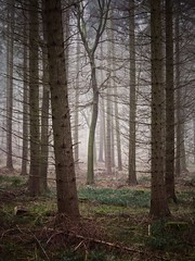 Not the Same (Damian_Ward) Tags: wood morning trees forest woodland photography chilterns buckinghamshire bucks spruce wendover thechilterns chilternhills wendoverwoods damianward ©damianward