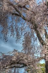 A famous tree of Sakura at Maruyama Park, Kyoto on APR 06, 2016 (17) (wakkanai097) Tags: japan spring nikon kyoto april sakura kansai hdr 2016 p7700
