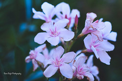 if only (Rana | FotoGraf - Bokeh Queen ♛) Tags: pink flowers summer plant green nature beautiful 50mm spring amazing nikon dof outdoor depthoffield 50mmf18d 50mm18 ifonly nikon50mm18d nikond90 nikond9050mm18 nikond90f18d
