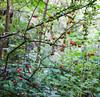winter berries (twinkle_moon_bunny) Tags: winter england woods berries somerset