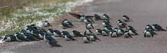 Tree Swallows (J.B. Churchill) Tags: birds maryland places garrett tres swallows taxonomy pineyreservoir