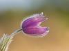 Küchenschelle (Markus Dorfmeister) Tags: colors spring frühling küchenschelle fantasticflower