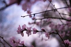 (Sakura) (Polichrome) Tags: flower macro up cherry spring dof close blossom