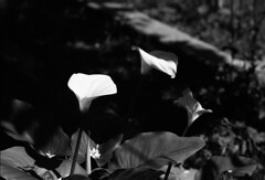 Calla Lily / Arum Lily (Ninoo Vita) Tags: white black misty rollei photoshop photography lights lightsandshadows nikon shadows lily gloomy shot calla overcast f100 ishootfilm nikonf100 epson 100 nikkor dim arum rodinal schwarzweiss somber murky schwarz dingy drab ais darkened shadowy 105mm weis nocolor r09 monochromia rpx epsonv750 35mmphotographer inspirationalphotography blackwhitepassionaward emozioniinbiancoeneroemotionsinblackandwhite rolleirpx100 yourperspectiveandcreative nikkor105mmais125