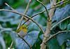 IN MY LONELY WORLD ! (GOPAN G. NAIR [ GOPS Photography ]) Tags: birds photography oriental whiteeye gops zosterops gopan palpebrosus gopsorg gopangnair gopsphotography