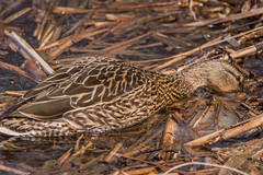 Building Her Nest (vernonbone) Tags: birds nikon sigma 500mm eastpoint d3200 april2016