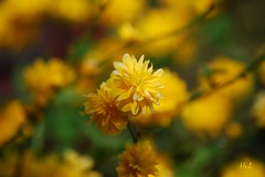 Yellow (hub en gerie) Tags: flower nature yellow garden spring natuur tuin lente geel bloem kerria platinumheartaward