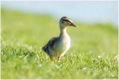 little duck (HP009587) (Hetwie) Tags: duck chicks mallard kuikens vijver eendjes wildeeend wijkpark brouwhuis