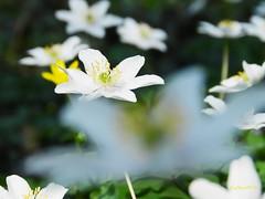 Buschwindrschen (..Ebru..) Tags: flowers white flower macro green nature fleur garden dof bright pflanze depthoffield gelb bloom bremen grn blume ebru 2016 fantasticflower wolfskuhlenpark