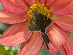 Teleus Longtail on Dahlia (PriscillaBurcher) Tags: hesperiidae pyrginae teleuslongtail urbanusteleus mariposasdecolombia butterfliesfromcolombia l1590676
