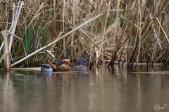 Mandarin Duck (wimdebaets) Tags: duck belgi be mandarin tervuren eend vlaanderen 2016 mandarijneend