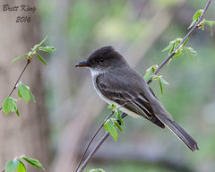 Eastern Phoebe with a snack (dbking2162) Tags: park county trees portrait brown nature leaves birds animal state wildlife indiana worm