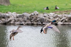 Coasting (kevnkc2) Tags: park county duck spring pond nikon pennsylvania contemporary ducks sigma cumberland lightroom shippensburg d610 stdntsdoncooper 150600mm 150600f563