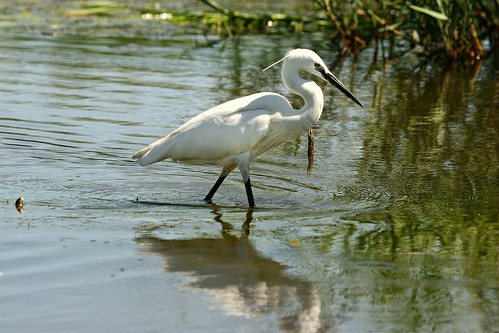 Little Egret,Egretta garzetta, feeding in shallows,
